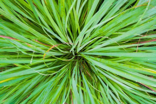 lemon-grass-leaves-center_35065-170